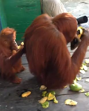 Orangutans eating mango